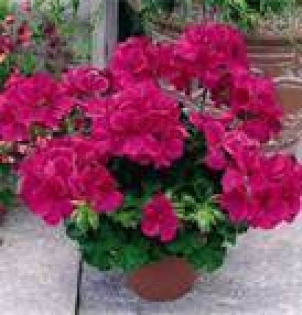 Rose Geranium Splash Recipe