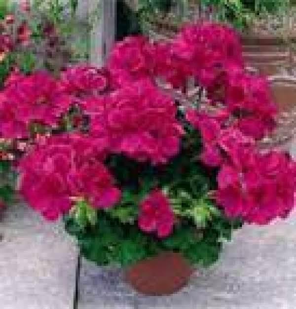 Rose Geranium Splash