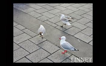 Photo: アカハシギンカモメ(Red-billed gull)手前 ハシグロカモメ(Black-billed gull )