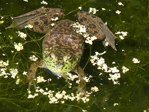 Photo: Bullfrog