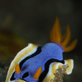 Nudibranch by Steven Tessy - Landscapes Underwater