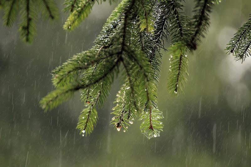Guardando la pioggia sotto il pino di Bibanto