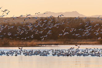 Photo: Snow geese taking off at sunrise; Bosque del Apache