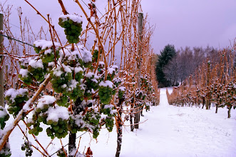 Photo: winery vineyard snow winter icewine grapes frozen vines