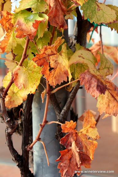 vigna, autunno, vineyard