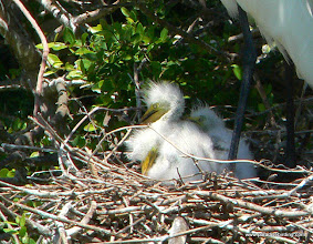 Photo: Great Egret nestlings at High Island, Texas