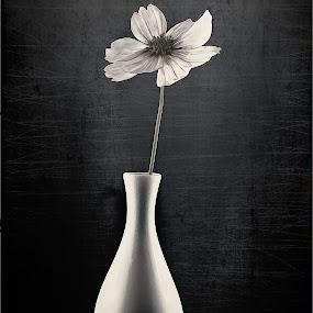 White Flower on Black by Karin Wollina - Black & White Flowers & Plants ( vase, blackandwhite, nature, bnw, flower,  )