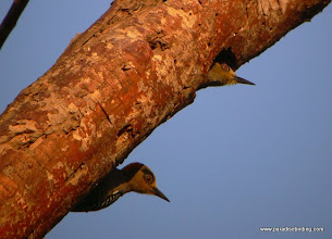 Photo: Golden-cheeked Woodpeckers, outside San Blas