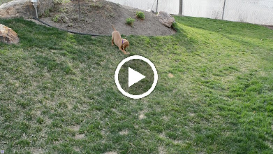 Video: Playing with a pinecone and gets zoomies