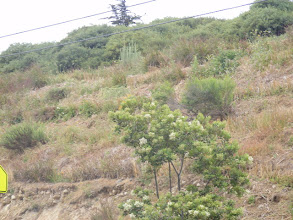 Photo: The Vetiver is functioning as a nurse plant for California plant species native to the site. The Vetiver has stabilized this difficult slope to a great degree.