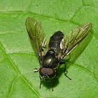 Figwort cheilosia