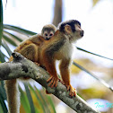 Central American squirrel monkey (mother & baby)