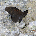 Common Raven Butterfly
