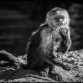 Monkey by Dave Lipchen - Black & White Animals ( monkey )