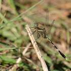 Orthetrum sabina 狹腹灰蜻