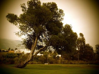 Albero in un campo da golf di martabacche