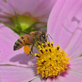 Honey Bee by Ursula Herbst - Nature Up Close Other Natural Objects