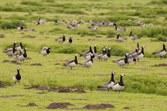 Photo: Barnacle Goose (Weißwangengans); Wedel, DE