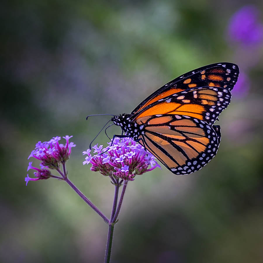 Mariposa by Linda Richardson - Animals Insects & Spiders ( butterfly, macro, purple, nature, bokeh, flower )