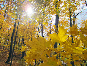 Photo: Golden leaves under a bright sun at Hills and Dales Metropark in Dayton, Ohio.