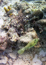 Photo: Scrawled Filefish#3