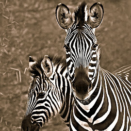 Zebra Mare with Filly by Pieter J de Villiers - Black & White Animals ( mammals, limpopo, mapungubwe national park, animals, zebra filly, south africa, black & white, zebra mare, zebra, baby, africa, mom )