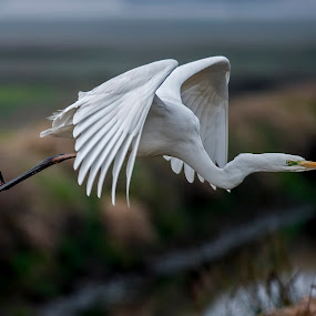 white heron by Riccardo Trevisani - Animals Birds