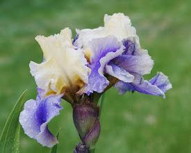Photo: Blue and cream iris after a rain  05/08