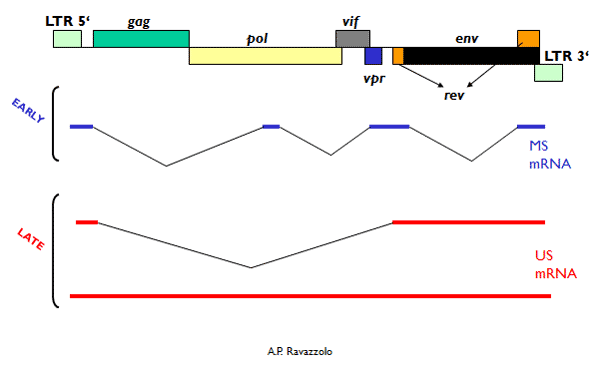 Schematic representation of the CAEV genome. Different multiple spliced mRNA (MS mRNA) are expressed early in the replication cycle of CAEV and their transport to the cytoplasm does not require Rev expression. Singly spliced or unspliced mRNA (US mRNA) are expressed late and depend on Rev to exit the nucleus. See the main text for a brief description of the function of the regulatory-accessory genes.