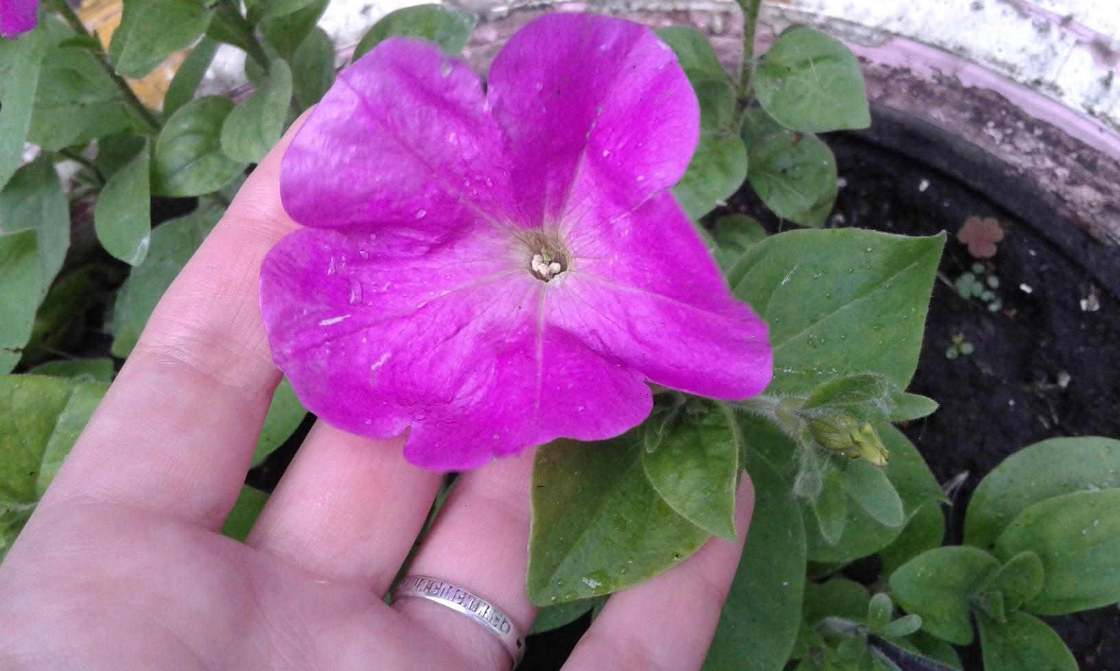 Красивый цветок «Петуния» – посадка, уход, выращивание из семян