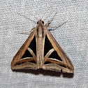 Triangle Moth