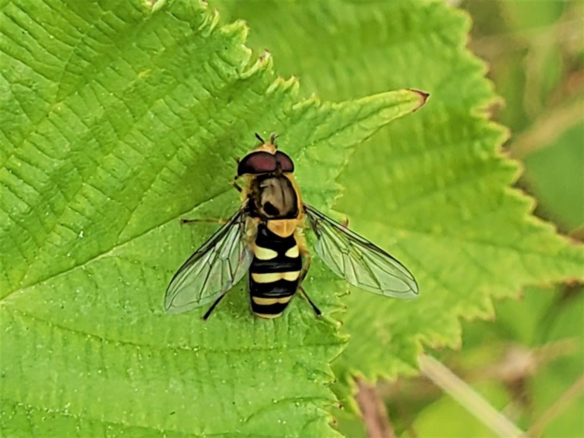 Hairy-eyed Flower Fly