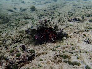 Photo: Dardanus megistos (White-spotted Hermit Crab), Miniloc Island Resort reef, Palawan, Philippines.