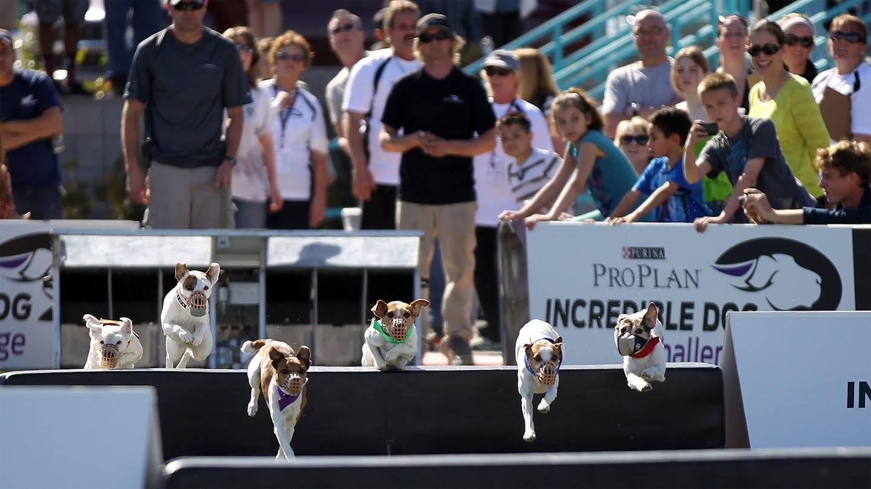 Watch 2013 Incredible Dog Challenge live
