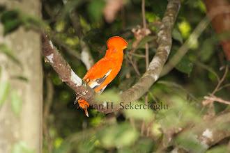 Photo: Guianan Cock-of-the-Rock
