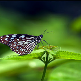 by Arun Acharya - Animals Insects & Spiders