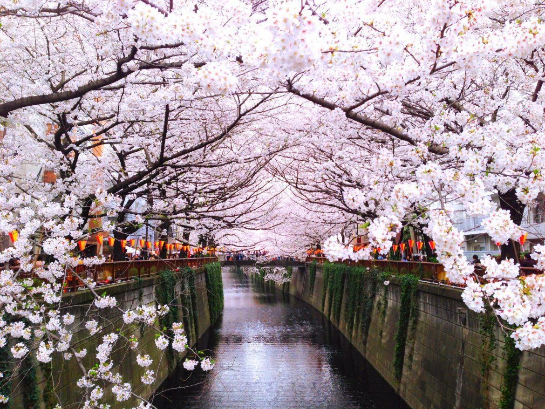 """ตารางพยากรณ์ซากุระบานทั่วประเทศญี่ปุ่น ปี 2020 ข้อปฏิบัติในการชม """"ซากุระ"""""""