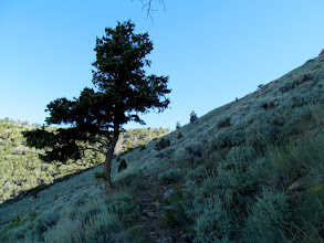 Photo: Pine tree along the trail
