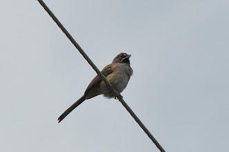 Photo: ! Bridled Sparrow (Zügelammer); San Miguel Ixtapán, PUE