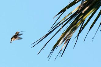 Photo: Ruby-throated Hummingbird (Rubinkehlkolibri); Bacalar, QROO