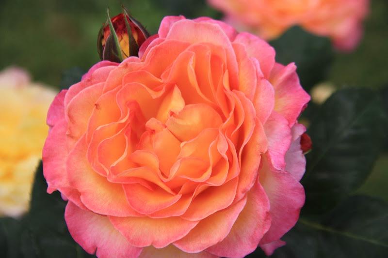 rosa di maggio  di Sarettah_03