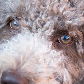 Ace by David Morrison - Animals - Dogs Portraits ( dogs, dog portrait,  )
