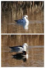 Photo: 撮影者:佐藤哲郎 ミコアイサ タイトル:ミコアイサ 観察年月日:2015年1月18日 羽数:2羽(♂1、♀1) 場所:高月浄水場池(南側) 区分:希少 メッシュ:拝島6E コメント:他のカモは池の縁で寝ていたが、ミコアイサだけ池の中を泳ぎまわっていた。