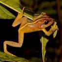 Fiji Tree Frog