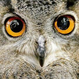 WHAT BIG EYES YOU HAVE by Tracy Rautenbach - Animals Birds ( orange, owl, big, eyes )