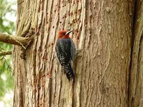 Photo: Sapsucker feeding on the sap from the feeding holes it made in a cedar tree