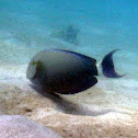 Fine Lined Surgeonfish