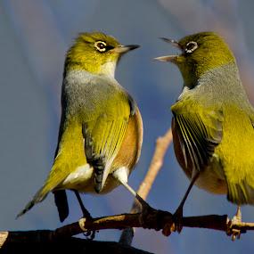 She Said What? by Trevor Bond - Animals Birds ( bird, white eye, nz birds, nz, waxeye,  )