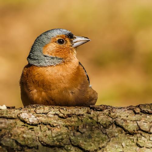 Male chaffinch, by Mandy Hedley - Animals Birds ( bird, colourful, chaffinch, male, woodland,  )