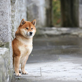 Oushou the Royal Dog by Magdalena Sikora - Animals - Dogs Portraits ( shiba, dog portrait, shibainu )